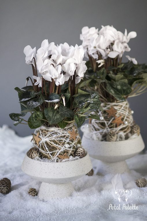 White Cyclamen Winter Flower Gardening Kokedama Christmas Floral Lesson Seoul Florist